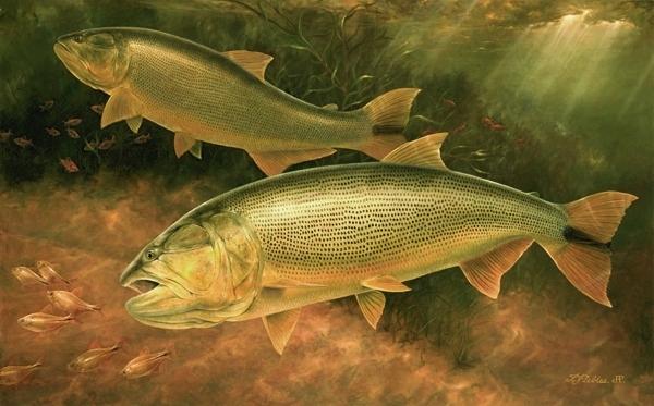 Photo Collection Dorado Fish Art Wallpaper