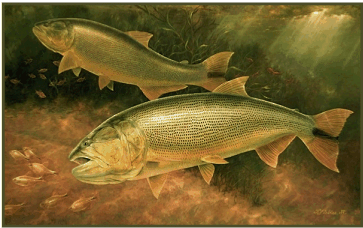 From oil painting: Golden Dorados